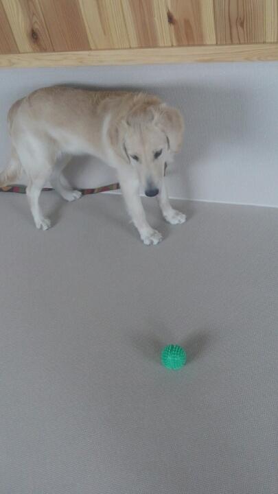 犬どうしの遊び、からの一人遊び(4)